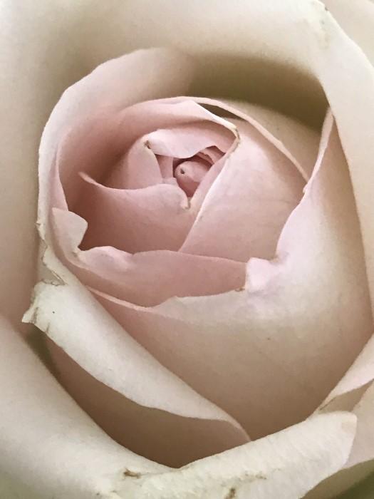 rose-upclose